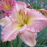 Pink Mabou Seedling Y26