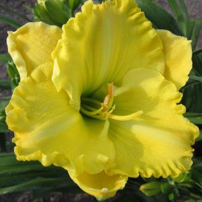 Yukon Spring Daylily