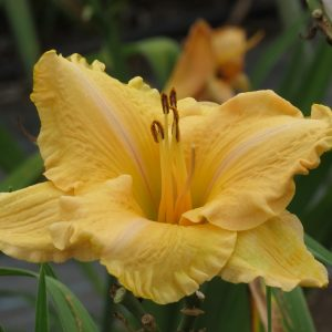 Ever So Elegant Hardy Daylily Bloom