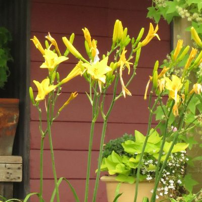 Notify Ground Crew tall yellow daylily zone 3 Saskatchewan.