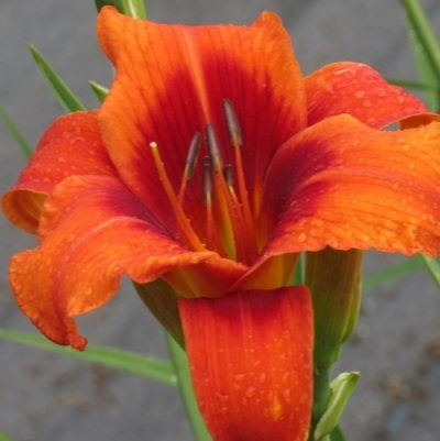 Outrageous Daylily Hardy