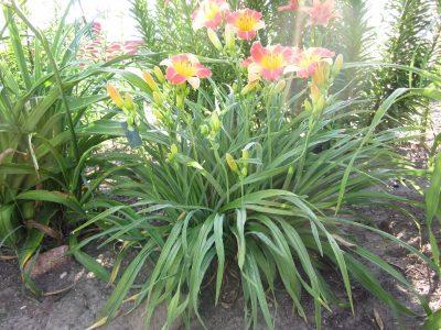 Prairie Blossoms Clump