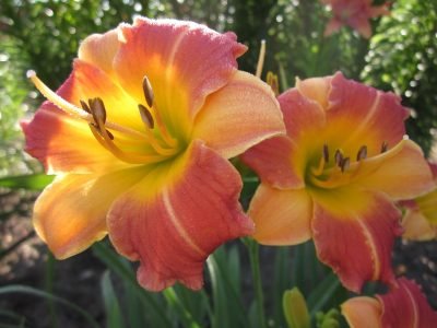Prairie Blossoms Daylily