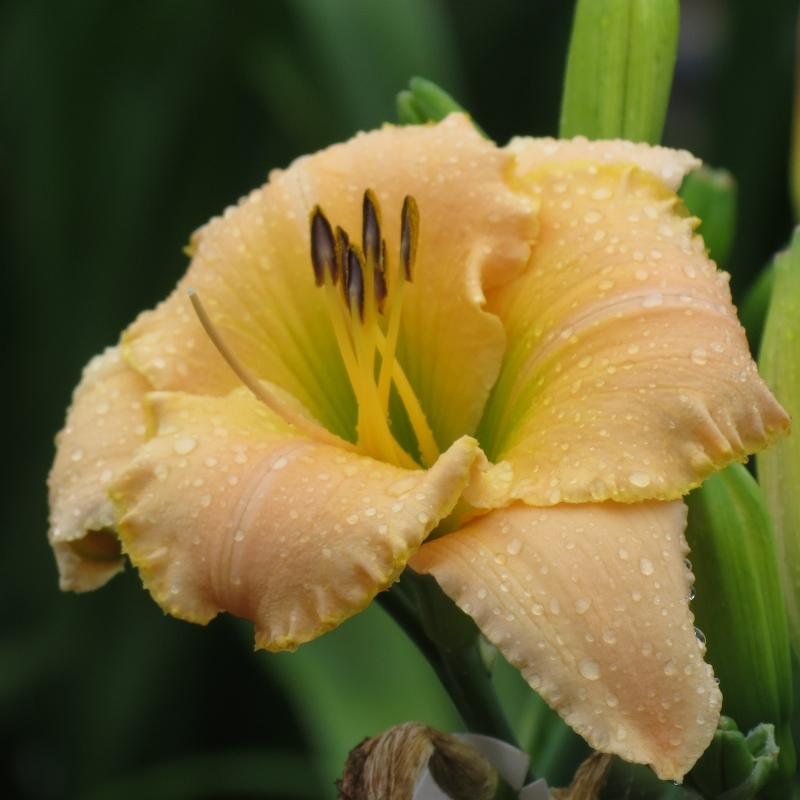 Peach daylily grown in Saskatchewan at Lilyfield Farm. Zone 3 hardy.