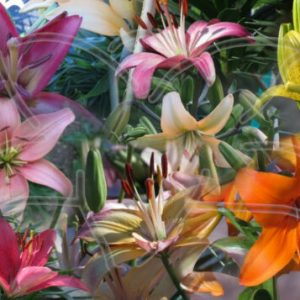 10 asiatic lily seeds from Lilyfield Farm.