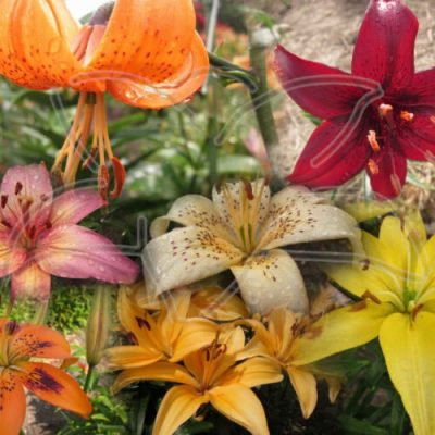 30 mixed asiatic lily seed from lilyfield farm.