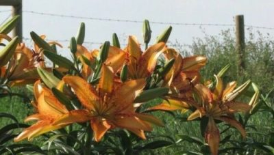 Kentucky open pollinated lily seeds. Lilyfield Farm.