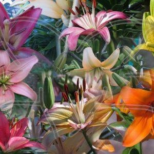 Lily & Daylily Seed