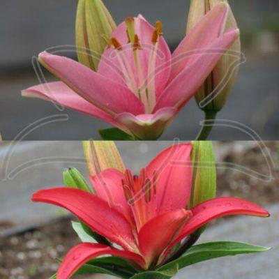 Hardy Dwarf Lily Seed - Pinks Reds Tiny Icon x (Tiny Snowflake x Matrix) lilyfield Farm