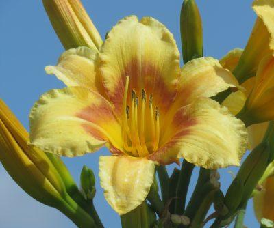 Prairie Elevator flower for sale at Lilyfield Farm Hardy Daylily Saskatchewan Canada