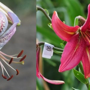 affection x (Baby Pink Bells x Lily Simonet) seeds