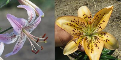 affection x leopard melon bur edge lily seedling see for sale