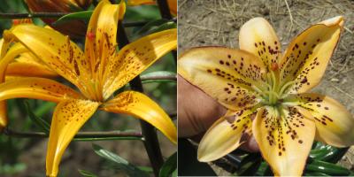 HL1 Saskatchewan Landing x melon leopard burgundy lily