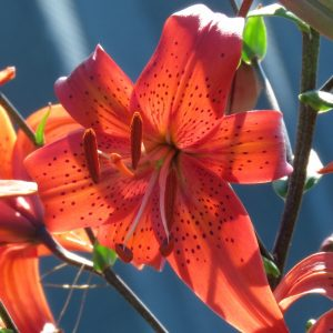 Orange tiger lily type seed for sale