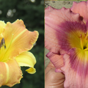 daylily seed for sale in Canada Lilyfield Farm