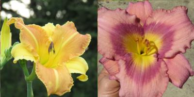 daylily seed for sale in Canada Lilyfield Farm