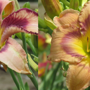 River Walks and lattes Daylily x Go1 seedling
