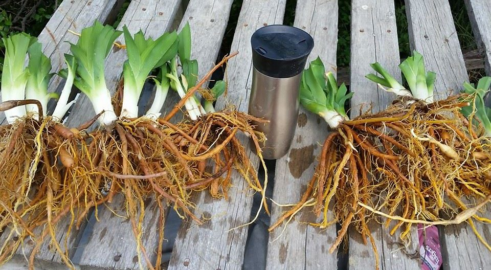 Daylily roots tubers bulbs for sale in Canada.