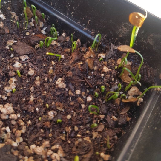 Asiatic Lily Seeds Germinating