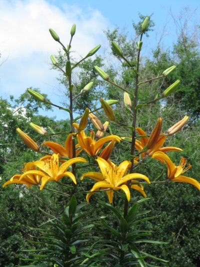 Sask Landing Yellow Speckled Lily Lilyfield Farm bulb for sale.
