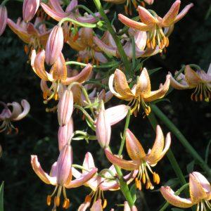 Early Bird martagon lily