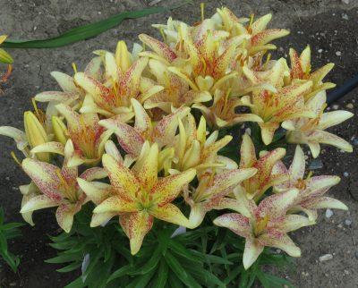 Devilled Eggs Asiatic Lily Bulb clump Flower Lilyfield Farm