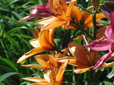 Mixed Asiatic Lily Bulbs