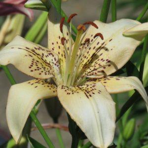 Kinda Sketchy Asiatic Lily Flower Bloom Lilyfield Farm Saskatchewan Bulb for Sale.