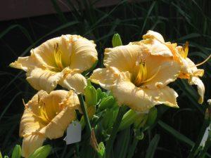 Wildly Content Daylily Perennial Plant For Sale Lilyfield Farm Saskatchewan Canada