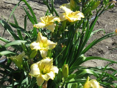 Prosecco daylily for sale lilyfield farm cream hardy ruffled