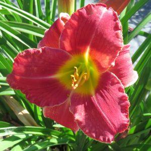 Summer Vacay red raspberry cranberry dark pink hardy daylily for sale lilyfield farm saskatchewan canada