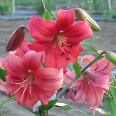 Pearl Loraine asiatic tetraploid red lily