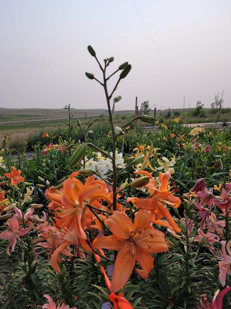 Orange lily thank you seedling lilyfield farm 2021 Cheryl Siemens Saskatchewan